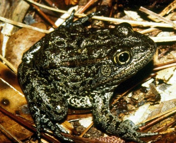 The Dusky Gopher Frog, pining for the fjords.  Credit: Wikipedia Commons